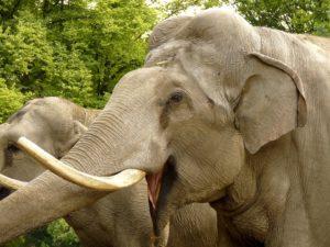 indijskiy-slon