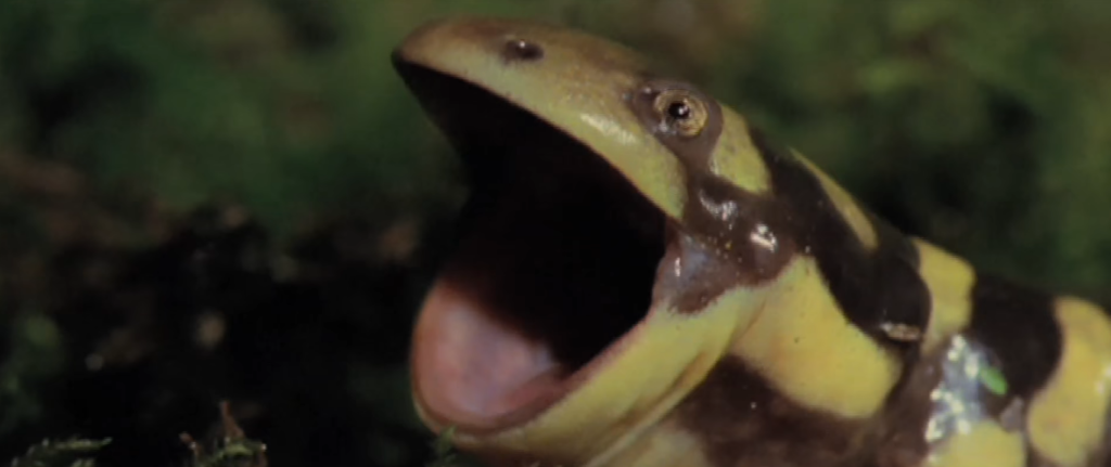 salamander-mouth