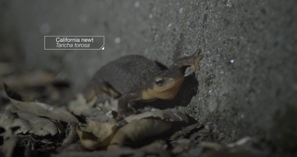 california-newt