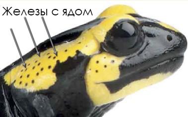 ognennaya-salamandr