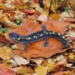 pyatnistaya-salamandra