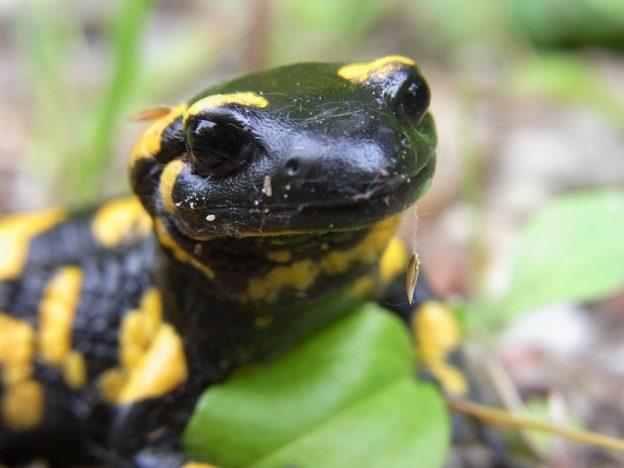 ognennaya-salamandra