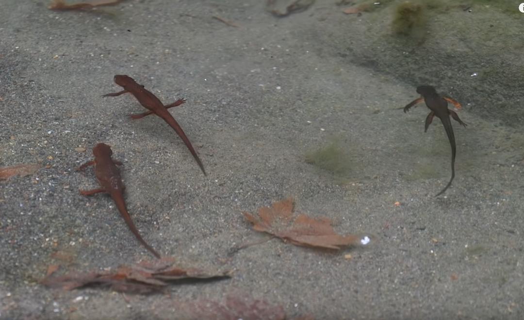 salamander-water