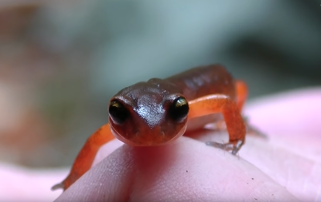 tihookeanskaja-salamandra