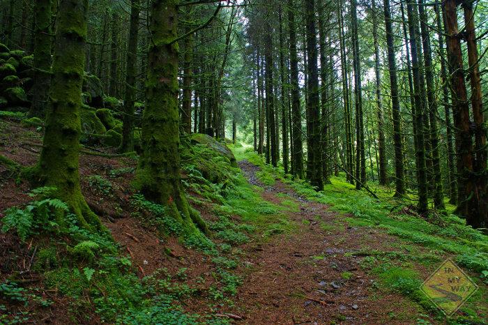 salamander-forest