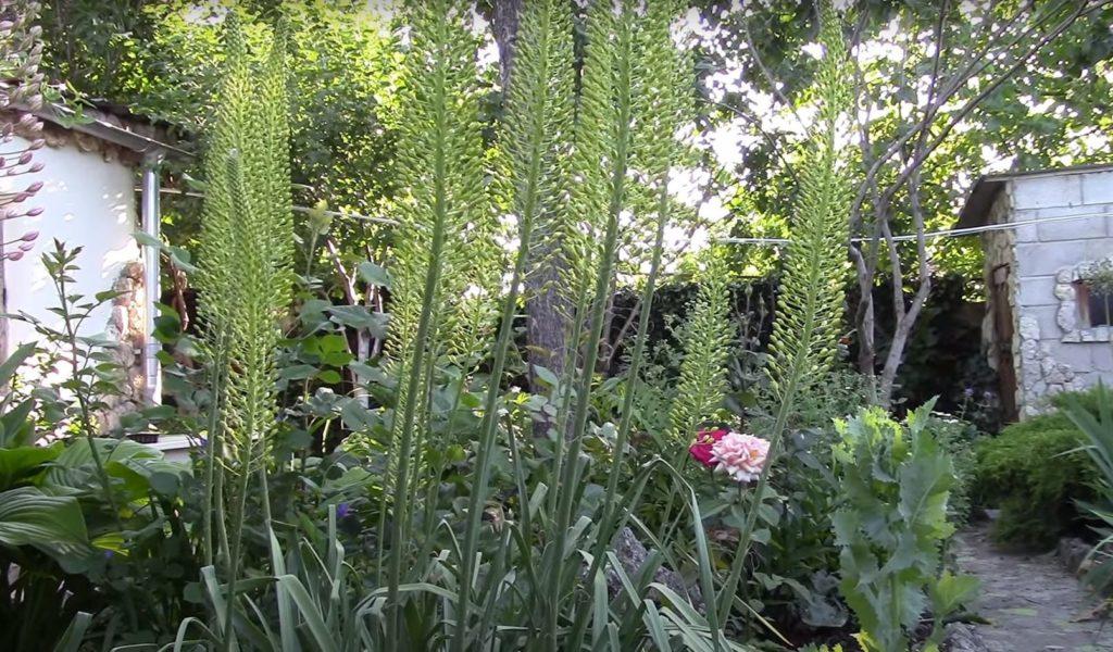Цветок эремурус, молодняк, фото