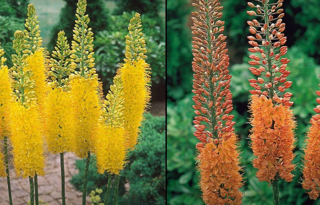 Цветок эремурус желтый, красный, фото, цветение