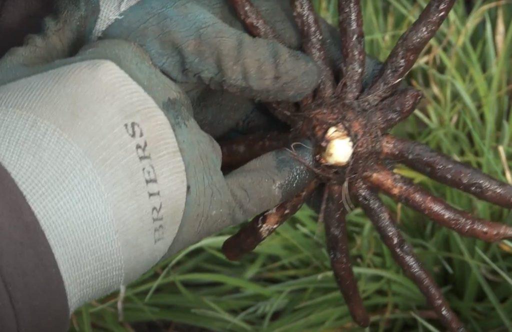 Цветок эремурус размножение, корень, фото