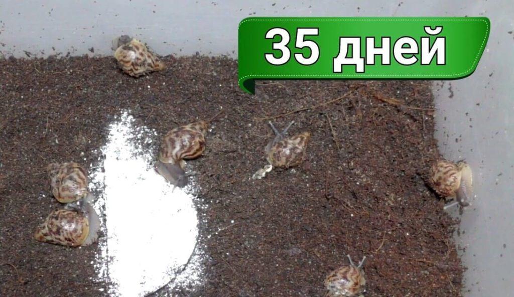 Улитки ахатины: размножение фото