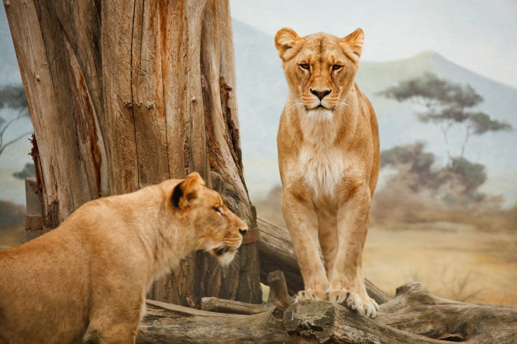Животные. Львы