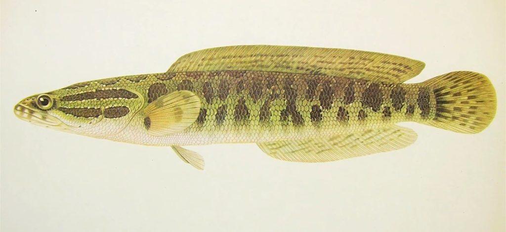Рыба змееголов, фото