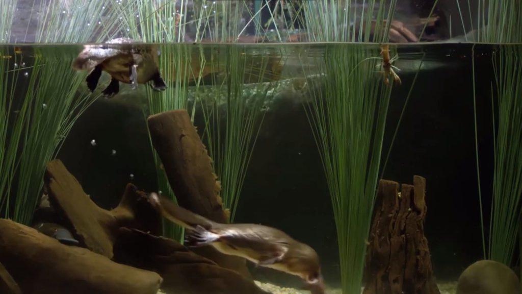 Утконос. Фото в воде